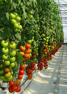 tomatoes greenhouse APR